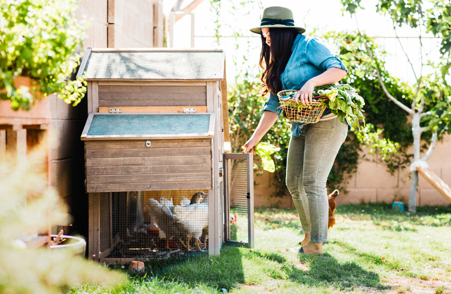 raising backyard chickens, laying hens